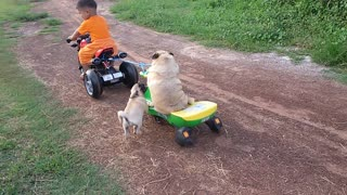 Pug Struggles To Get Back On Motorcycle After Falling Off  - Video