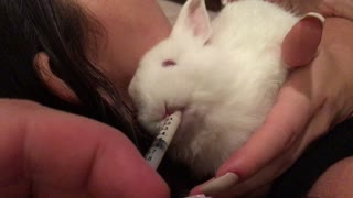 White rabbit drinks from syringe