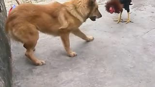 Chicken Vs Dog Fight - Video