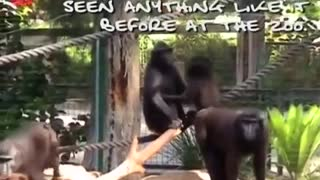 Monkey Walks Like A Human - Video