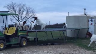 Watch what these goats do when the farmer's out of town