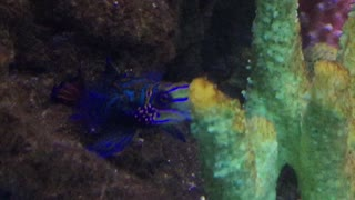 Psychedelic Goby - Video