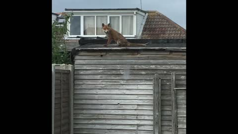 Random wild fox happily sits on backyard shed
