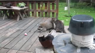 Raccoon steals prize egg from cat
