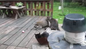 Raccoon steals prize egg from cat - Video