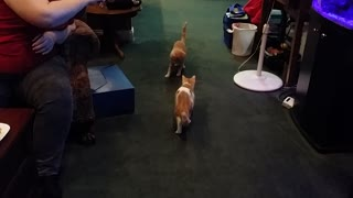 Pair of cats intensely chase laser dot
