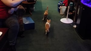 Pair of cats intensely chase laser dot - Video