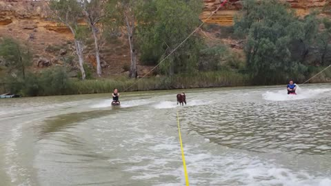 Water-skiing labrador shows off some impressive skills