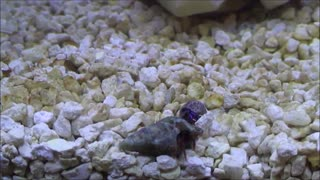 Hermit Crab uses rock to protect itself - Video