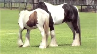 "Why do horses ""clack"" at each other?"