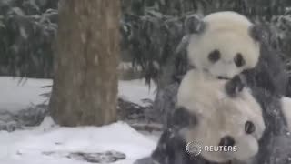 Panda Bao Bao enjoys first snowfall - Video