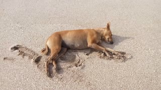 Dogs Nap on the Beach - Video