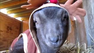Precious baby goat dressed as a deer - Video