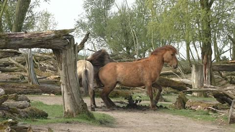 Powerful horse fight ends in smelling each other's POO