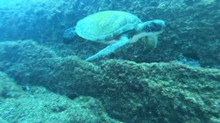 Turtle swimming by