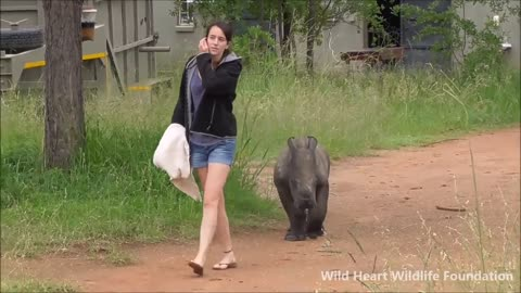 'Nandi' the orphaned rhino baby given a bright future