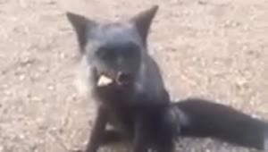 Wild fox joins campers for meal time - Video