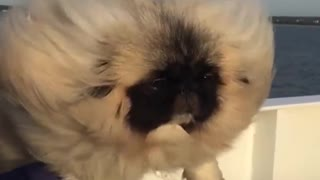 The most beautiful  dog hair in the world. - Video