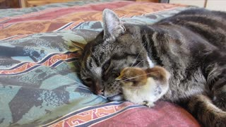 Cat and baby chick cuddle together