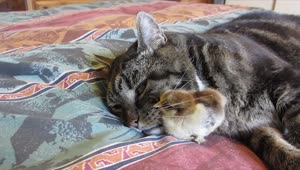 Cat and baby chick cuddle together - Video