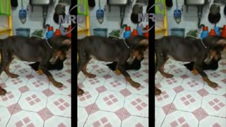 Dog screaming with toy
