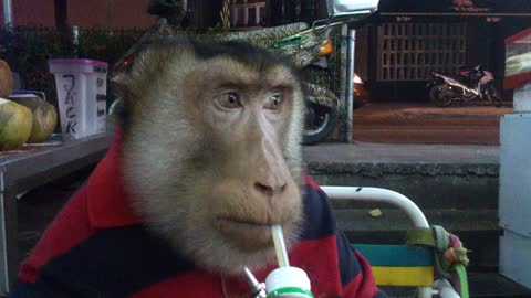 Casual monkey enjoys a refreshing drink