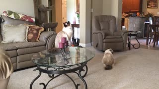 Silly Birman cat Simon. - Video