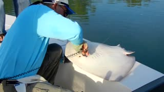 Catching A Male Freshwater Stingray - Video