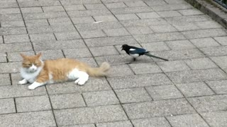 Crazy magpie obsessed with cat's tail