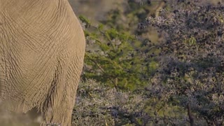 Elephant Grazing in African Scrubland