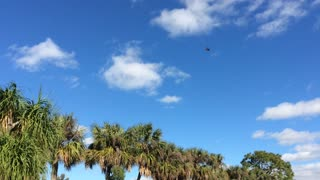 Two Eagles soaring above me in my backyard