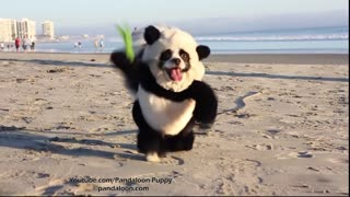 Adorable 'Panda' Spreading Cheer At California Beach - Video