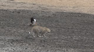 Mother Goose Fakes Injury, Outsmarts Leopard