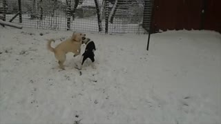 Dogs enjoy playing in first snowfall - Video