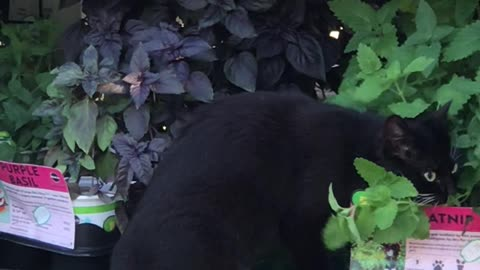 Kitty Goes Straight to the Source for Catnip Fix