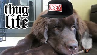 Newfoundland puppy joins the thug life - Video