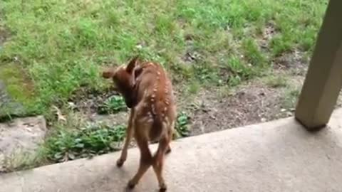 Abandoned Fawn Wants To Go Into Caretaker's House