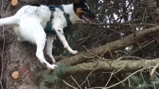 White dog with black face climbs and jumps up tree onto branch - Video