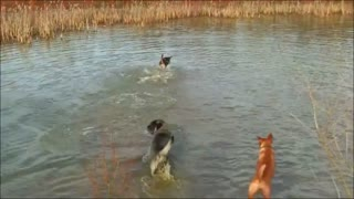 Dogs enjoy playful time in water - Video