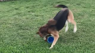 Dog running around with toy