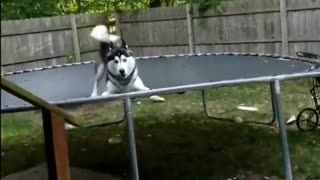 Husky loves to jump on his very own trampoline