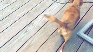Brown dog takes large stick inside house