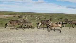 Caribou Traffic Jam - Video