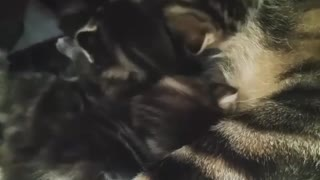 momy cat taking care of her babies - Video