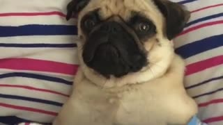 Cutest pug having a very lazy day in bed  - Video
