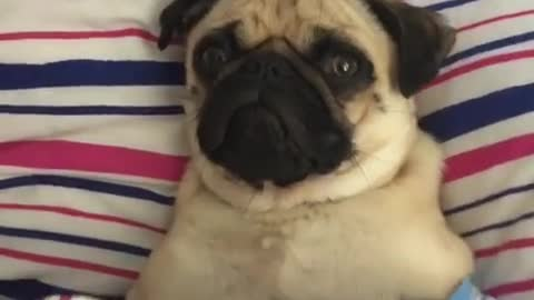 Cutest pug having a very lazy day in bed