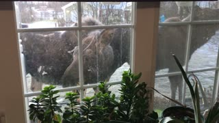 Group of Moose Stop by for Breakfast