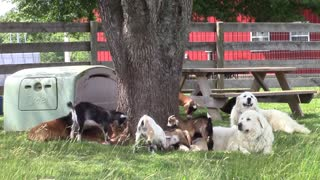 Farm dog has front row seat to hilarious baby goat battle - Video