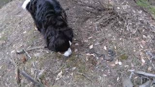 Bernese Mountain Dog Threatened By Snake  - Video