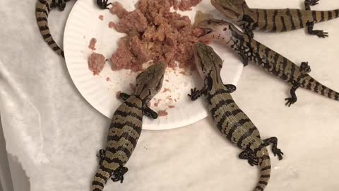 Baby Blue Tongue Skinks Chowing Down
